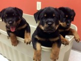 Rottweiler and Labrador puppies