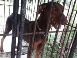 1 Year Old Female doberman for sale