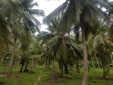 Superb Coconut land for sale near Chilaw town