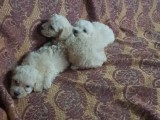 Male Poodle puppies white