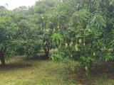 Mango Land for Sale