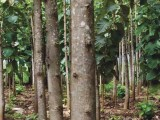 TEAK PLANTATION FOR SALE