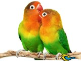 African Love BIrds- Green Fisher