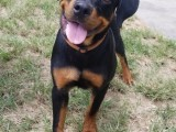 Rottwailer dog for free