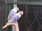 African breeding pairs sale