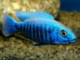 Electric blue Sulfer head pecock malawi