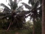 Coconut land for sale